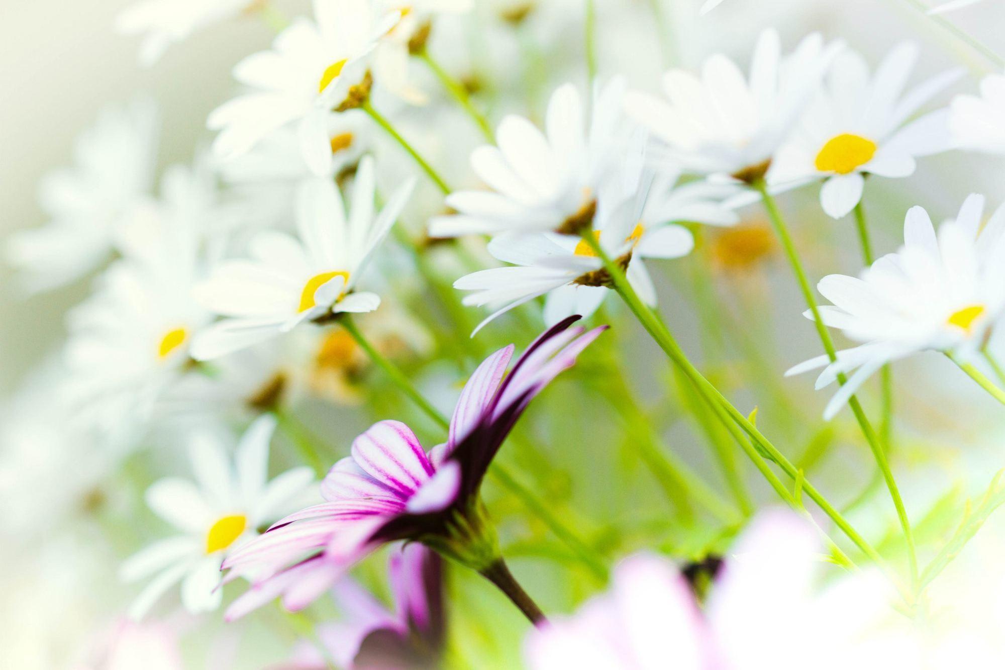 ромашки розовые белые chamomile pink white  № 1037924  скачать